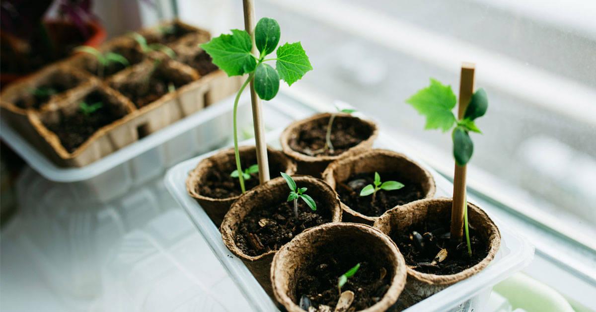 Cultivar alimentos en casa: cómo sembrar hasta el brote