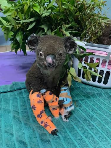 koala quemado