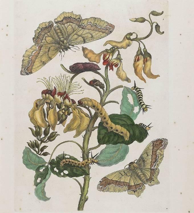 Maria_Merian_Metamorphosis_Insectorum_Surinamensium_MIA_P18717