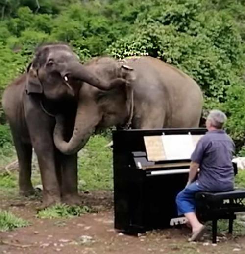 Este hombre tranquiliza con su piano a elefantes maltratados en Tailandia