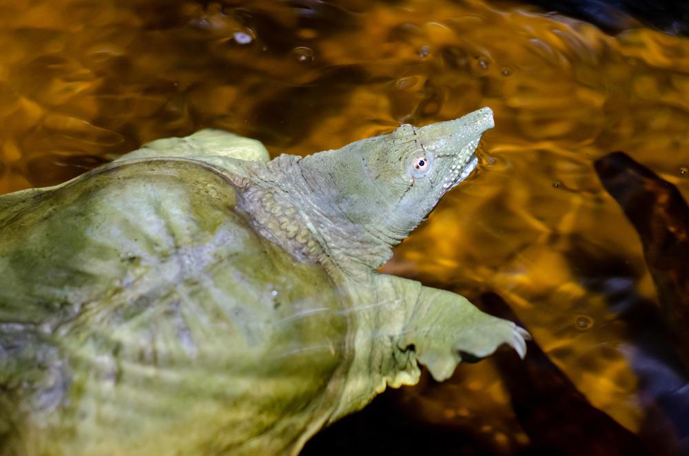 Noticias esperanzadoras para la tortuga de caparazón blando de Shanghái