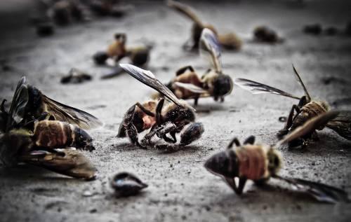 Encuentran millones de abejas muertas en México