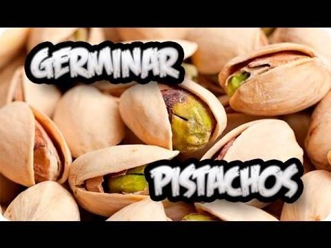 Cómo germinar pistachos en casa