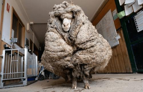 Encuentran oveja perdida hace 5 años con más de 35 kilos de lana en su cuerpo