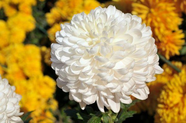 Flores-Imágenes-Crisantemos-Hermosas-Flores-Imágenes-hh_Ni345661