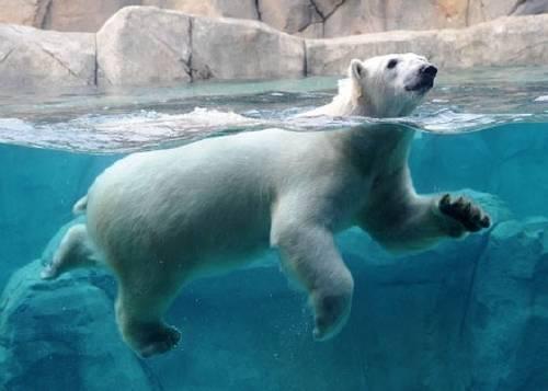 En cautiverio y deshidratada: muere una cría de oso polar de 26 días de vida..