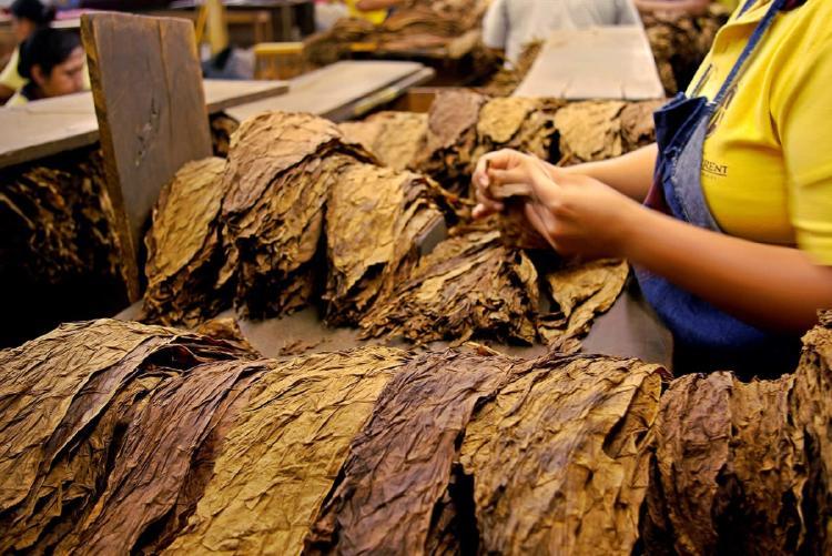 Mujer trabajando en la produccion de hojas del tabaco
