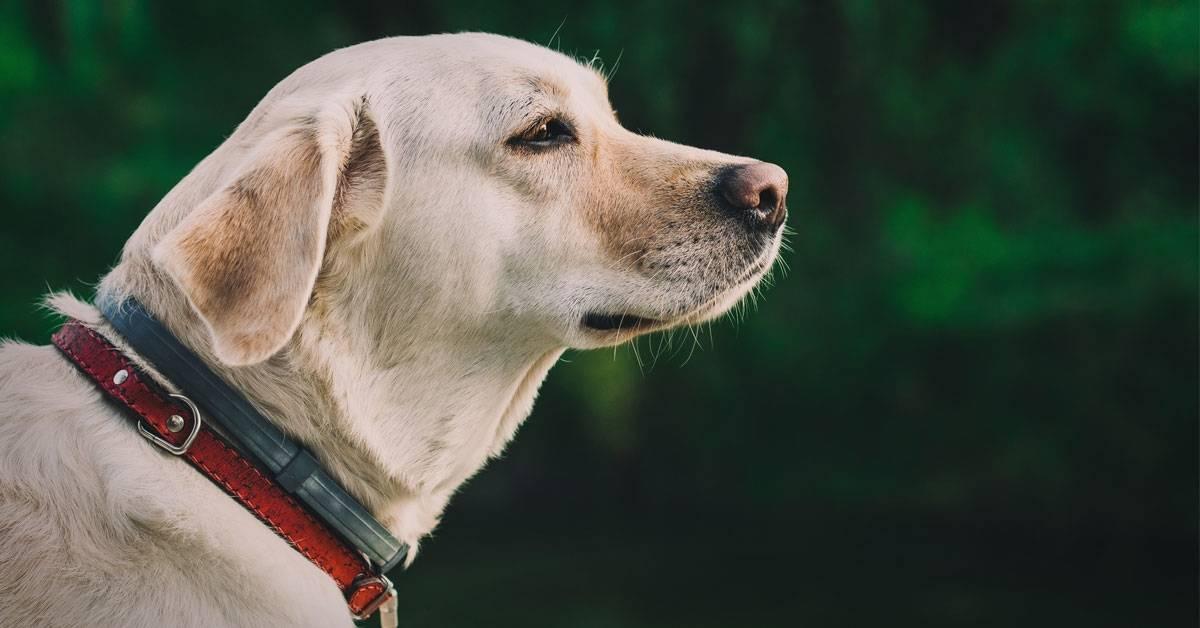 Prohíben los collares eléctricos por el riesgo que suponen para los perros