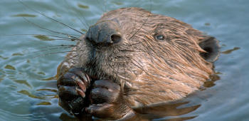 castor canadiense nadando
