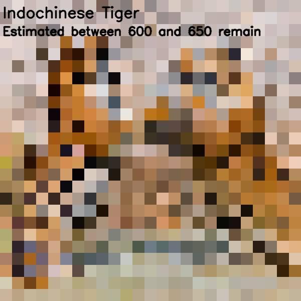 11 - indochina tiger 650