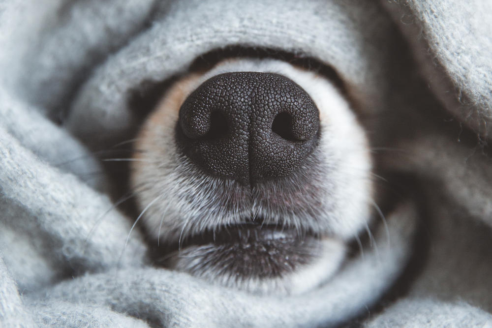 ¡Asombroso! Descubren que la nariz de los perros cumple una función inédita