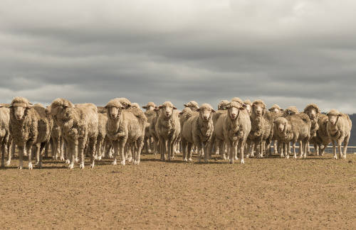 manada de ovejas merino