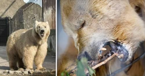 Conoce la historia de Napa, el oso que pasó una vida cruel y tuvo éste final