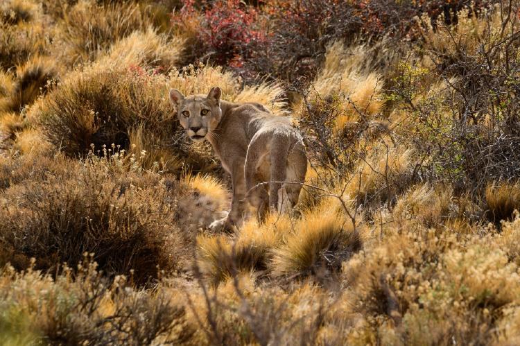 Puma_en_el_Parque_Patagonia-_foto_de_Franco_Bucci