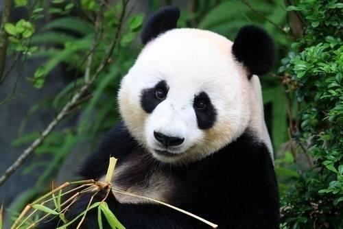 El oso panda ya no está en peligro de extinción