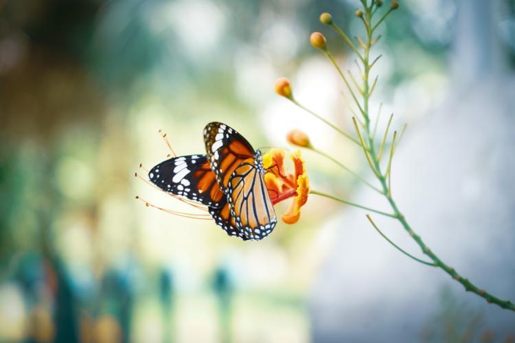 mariposa monarca- significado espiritual de las mariposas