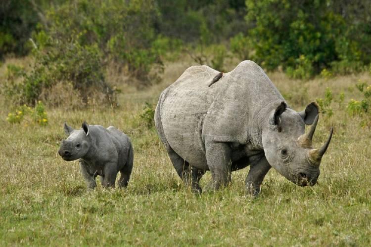 Cae la caza de rinocerontes