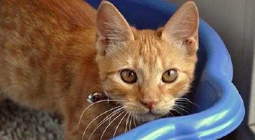 Cómo hacer naturalmente piedras sanitarias para gatos