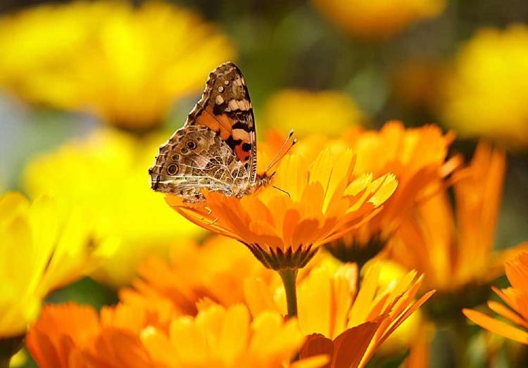 calendula-planta-medicinal