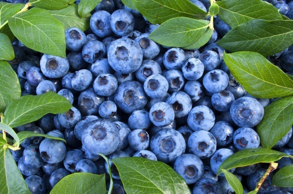 cultivar frutos rojos- arándanos