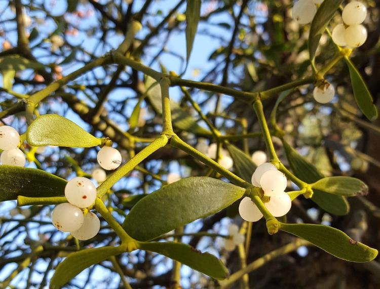 Plantas heterótrofas - muérdago blanco