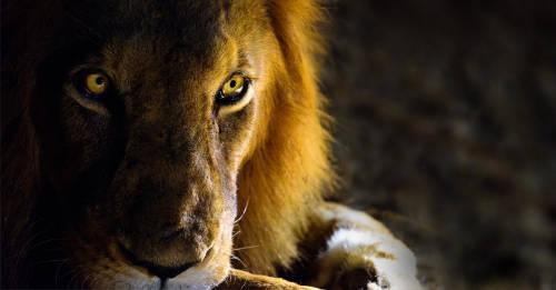 Biólogo afirma que la historia de El Rey León sería muy diferente en la realidad
