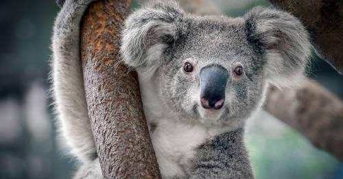 Alertan que el koala está funcionalmente extinto