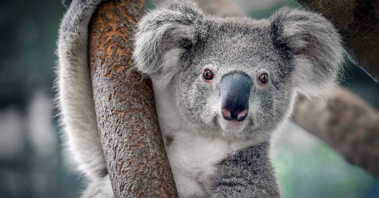 alertan-koala-funcionalmente-extinto
