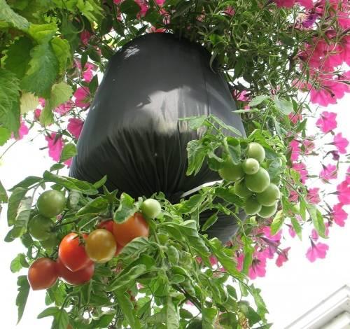 Cómo cultivar tomates al revés en botellas de plástico