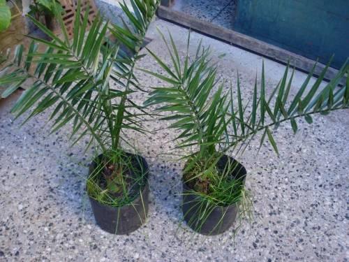 Cómo germinar semillas de palmera para plantar en macetas