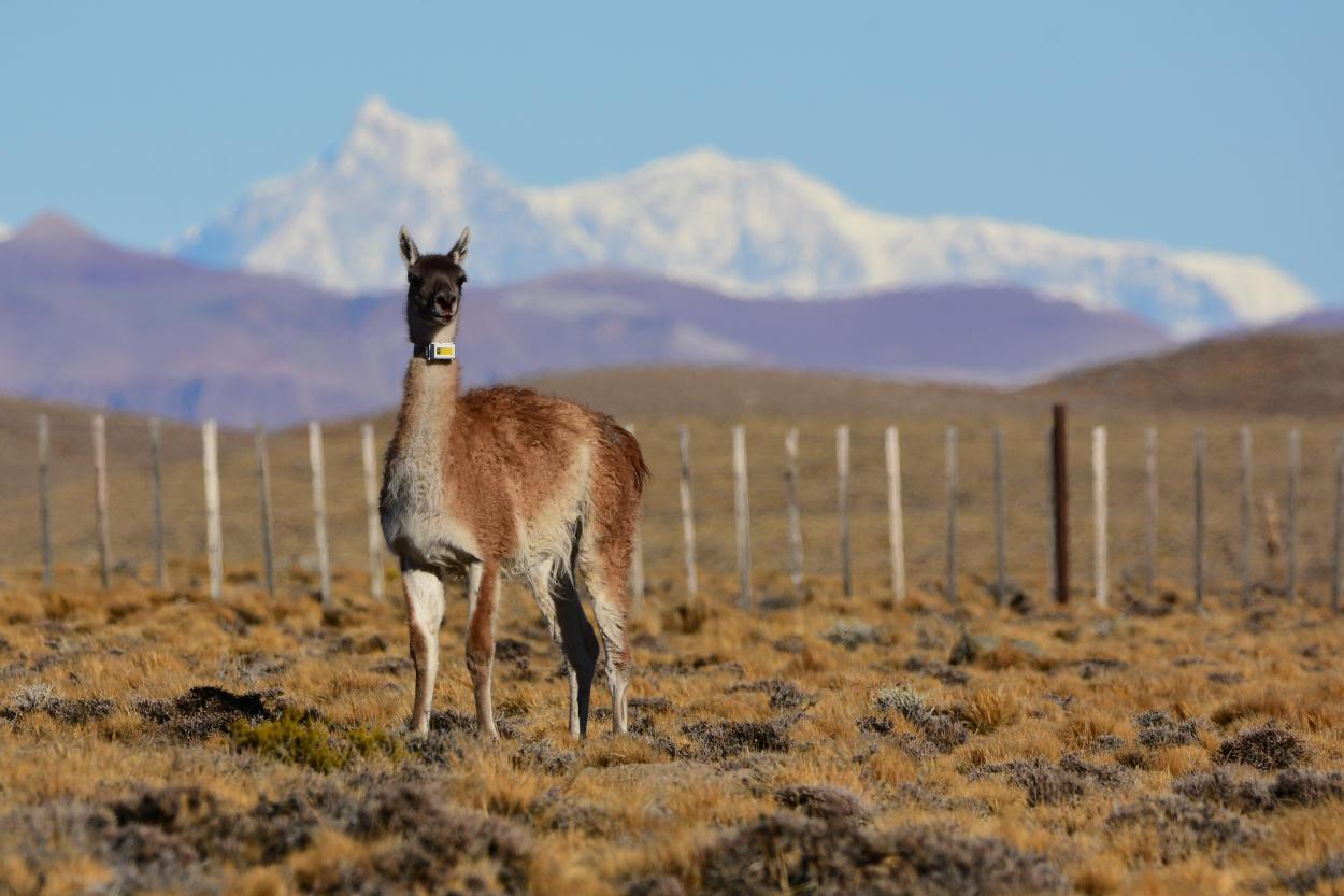"""Migraciones de grandes herbívoros: """"mapeando"""" el camino para su conservación"""