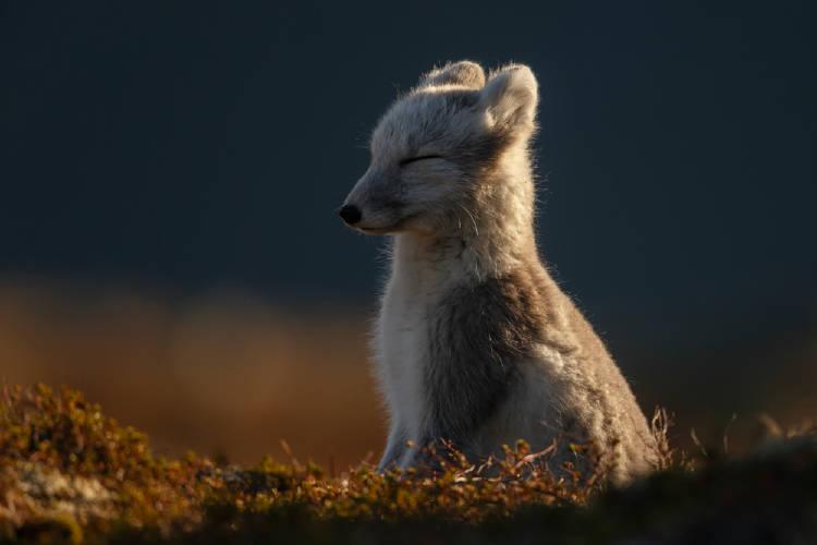Un zorro ártico al sol, con los ojos cerrados