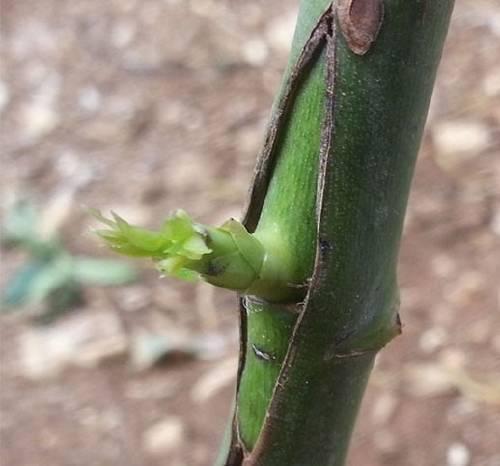 Cómo convertir un árbol en frutal