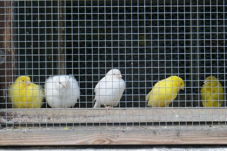 canaries-420580_1920