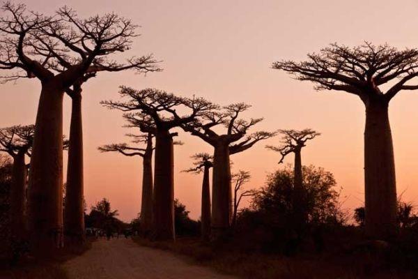avenida-de-los-baobabs-en-madagascar_galeria_principal_size2
