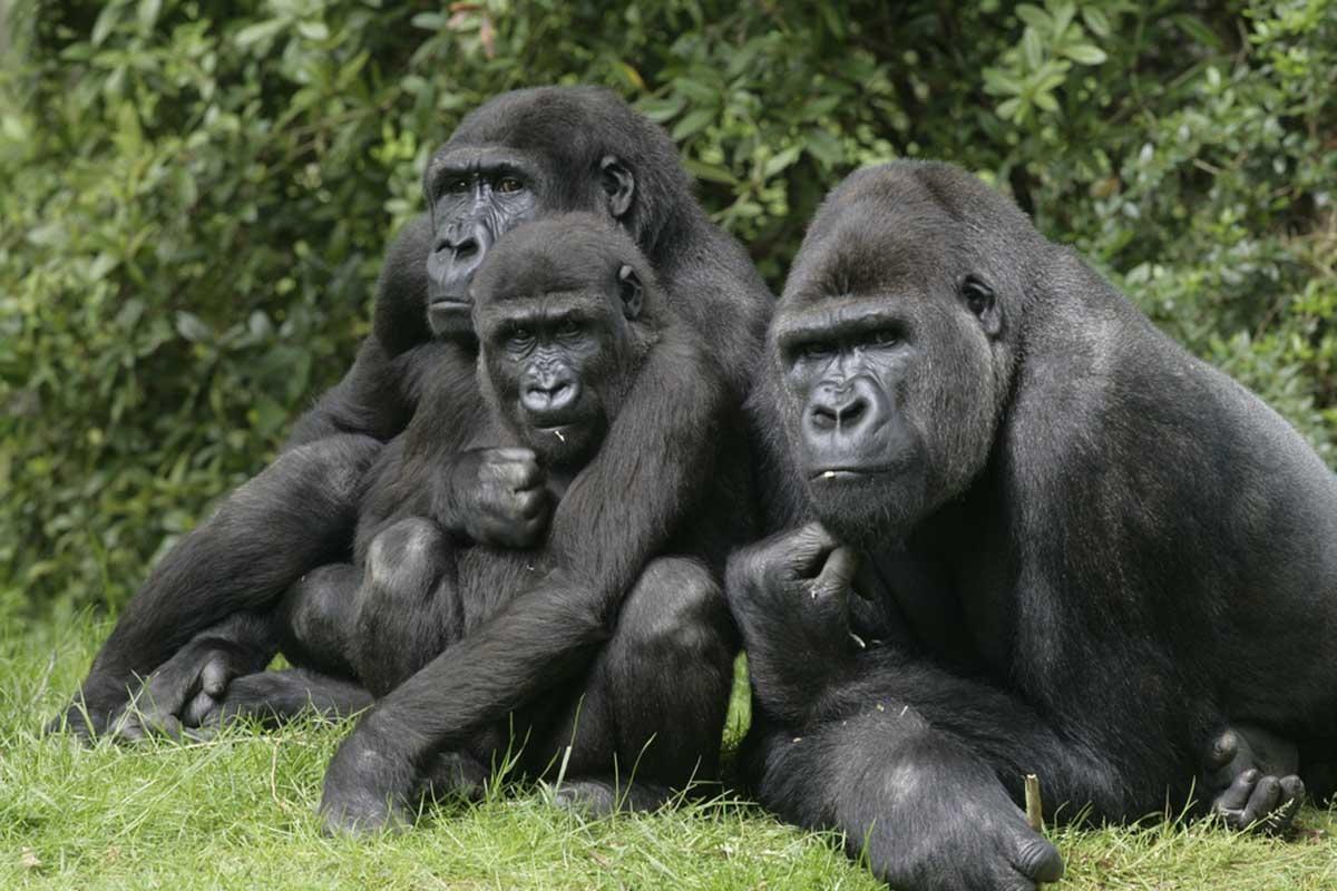 Gorilas dan positivo por COVID-19 en un zoológico de California: ¿Cómo lo explica la ciencia?