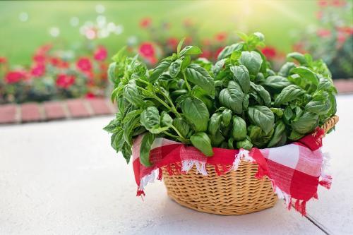 Albahaca: Cuidados, cómo plantarla y ¿para qué sirve?