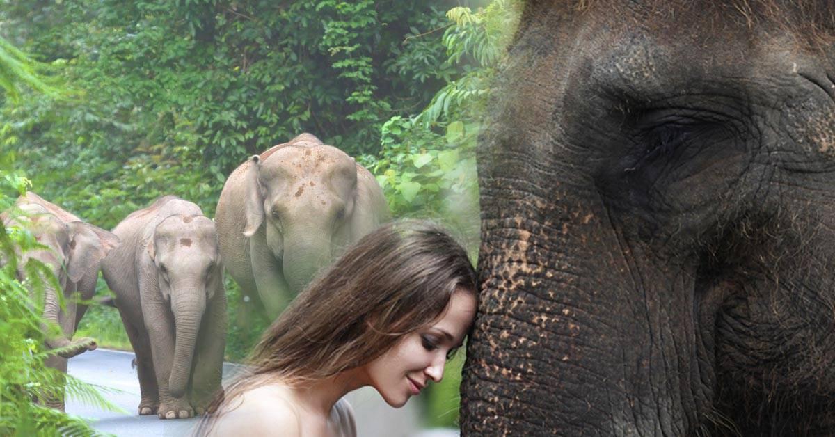 Los elefantes están en peligro y puedes ofrecerte como voluntario para salvarlos