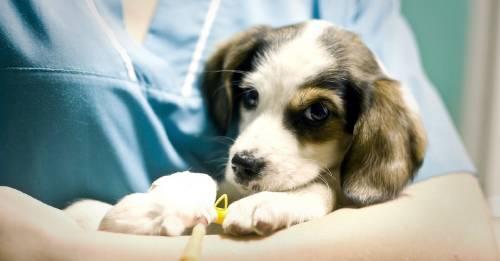 La emotiva carta de un veterinario tras salvar a una perrita que comió clavos