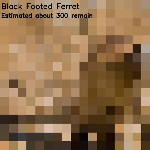 13 - black footed furret 300