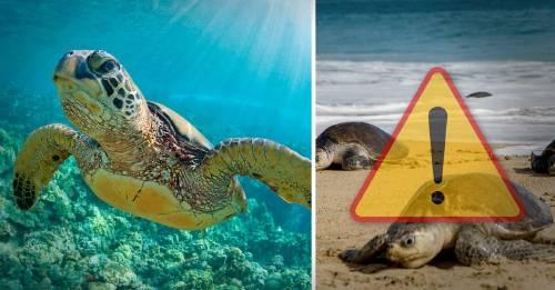 Trágico y desesperanzador: cientos de tortugas aparecen muertas en México. ¿Qué les pasó?
