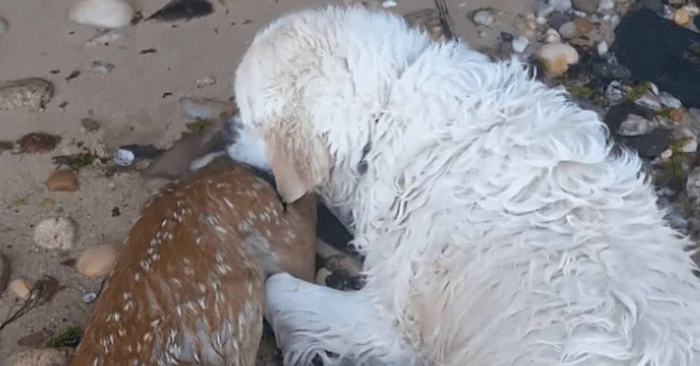 Video: El emocionante rescate de un perro a un ciervo en medio del agua