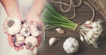¡No compres más ajos! Mira cómo tener una fuente interminable de ajo en casa