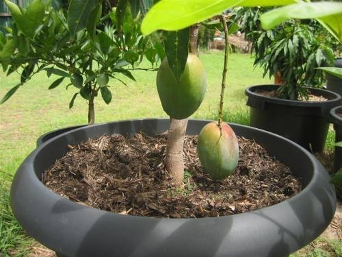 Cómo cultivar mango en macetas