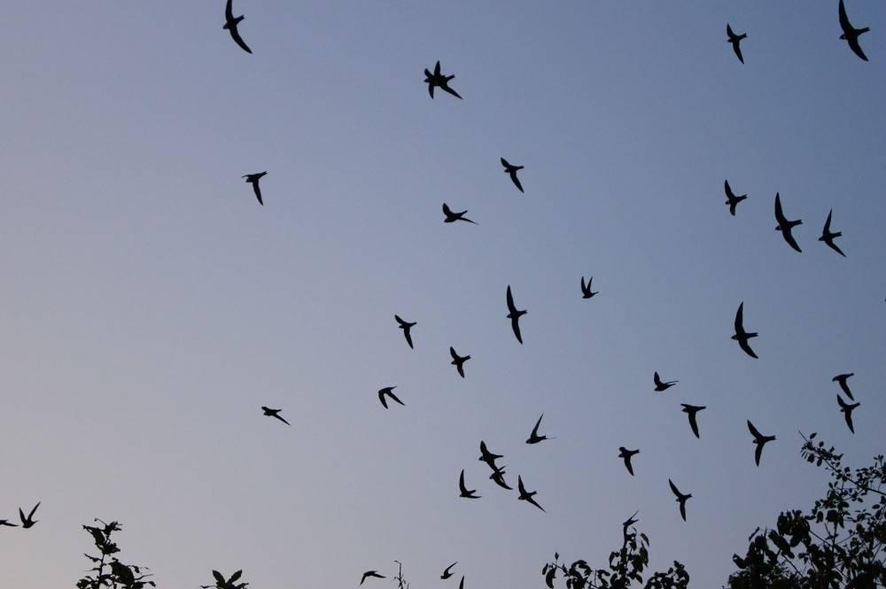 Golondrinas: el ave migratoria más afectada por el cambio climático