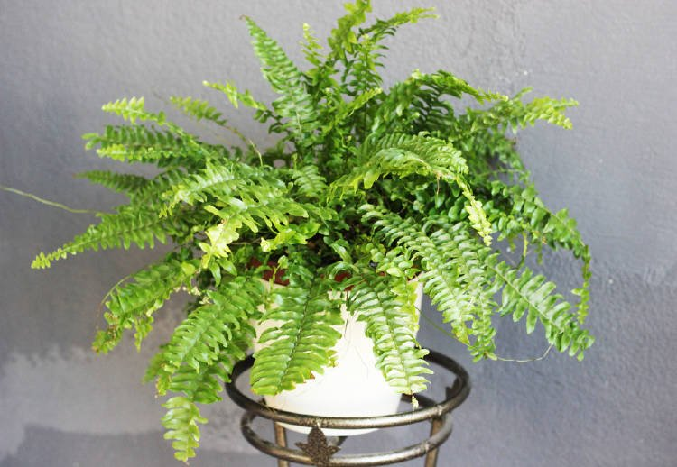 The fern is very useful for treating some of the most common ailments.