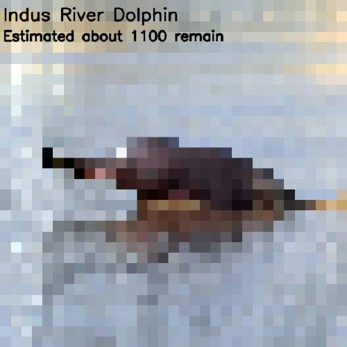10 - indus river dolphin 1 100