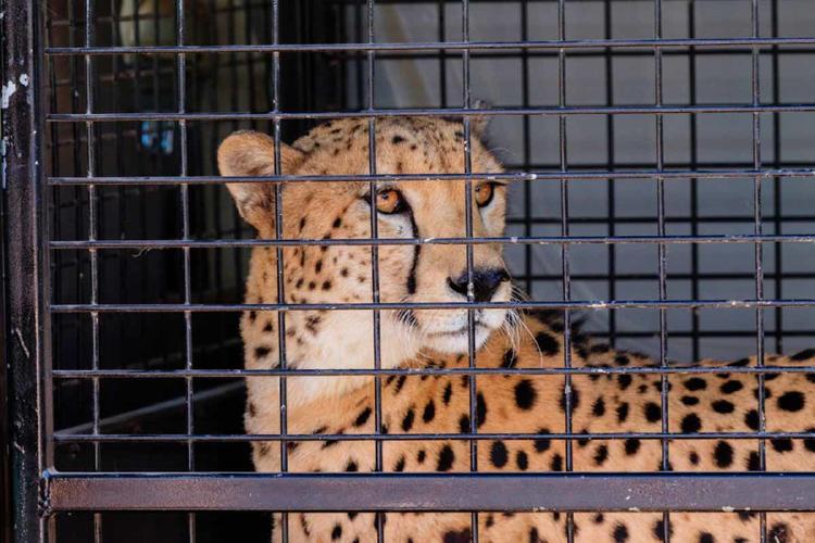 guepardo jaula