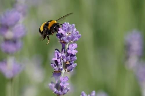 Descubren un nuevo sospechoso de la muerte masiva de las abejas