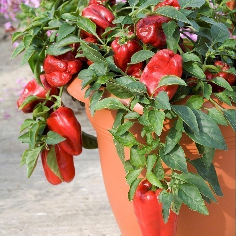 Cómo Cultivar Pimientos En Macetas Bioguia